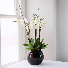 Phalaenopsis Orchid | Plants Delivery Milan Italy