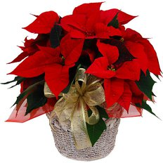 Red Poinsettia | Christmas Gifts to Milan | FlorPassion Local Florist